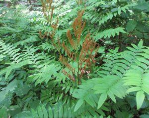 Чистоуст японский (Оsmunda japonica)