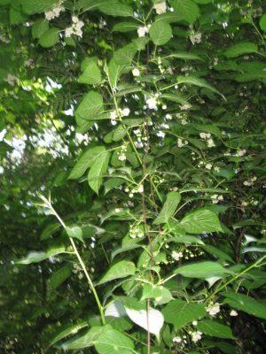 Актинидия коломикта (Actinidia kolomikta Maxim.) цветение