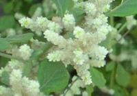 Эрва шерстистая (Aerva lanata L.)