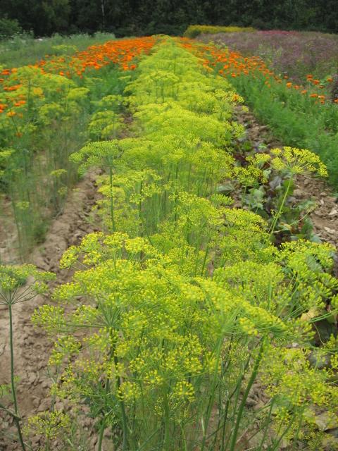 Укроп огородный (пахучий) (Anethum graveolens L.)