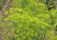 Укроп огородный (Anethum graveolens L.)