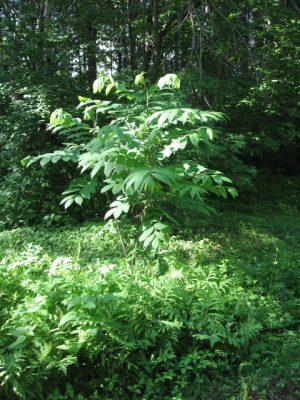 Аралия высокая (Aralia elata)