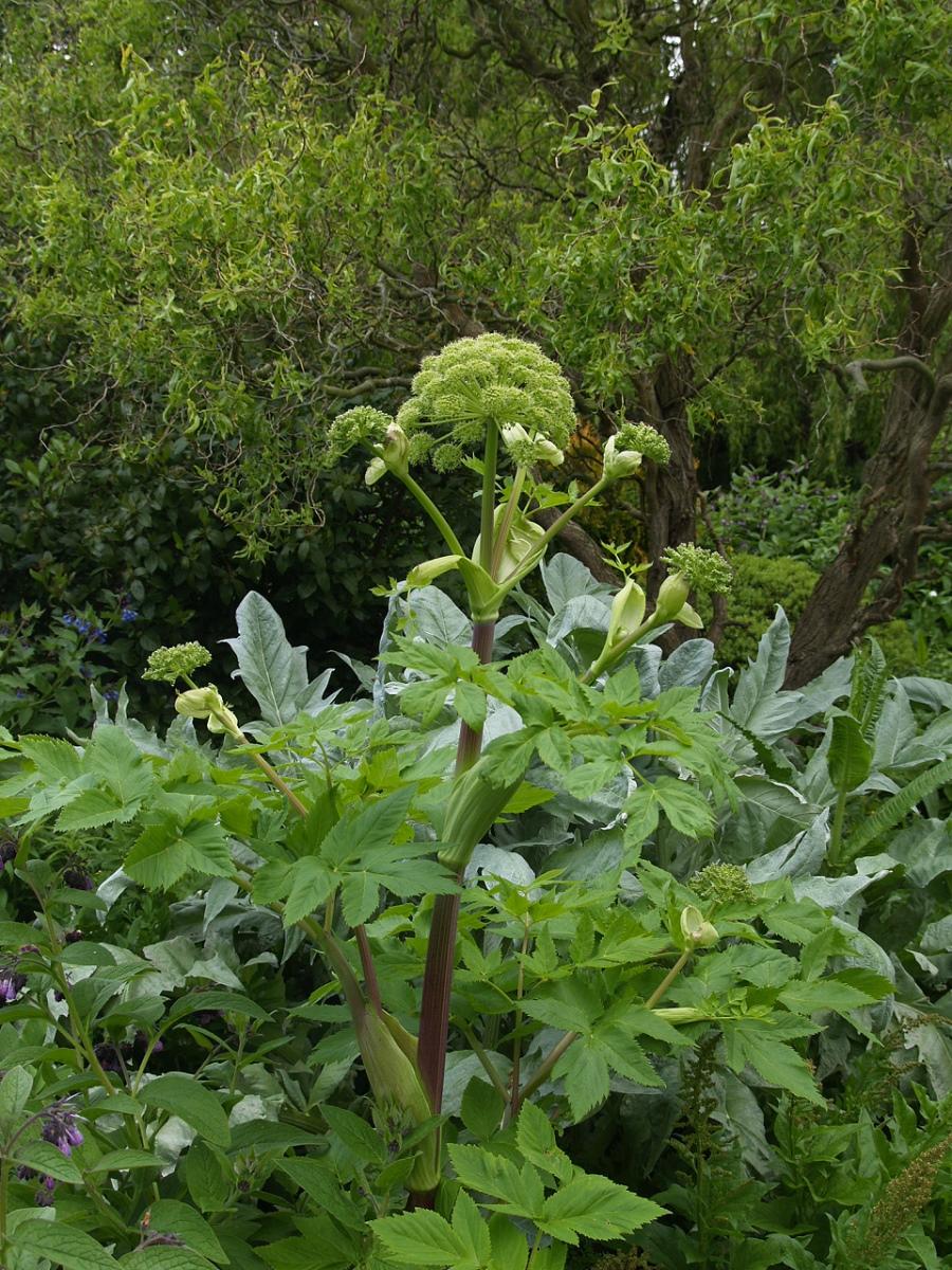 Дягиль лекарственный Archangelica officinalis