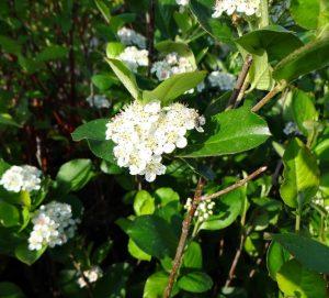 Черноплодная рябина, соцветие