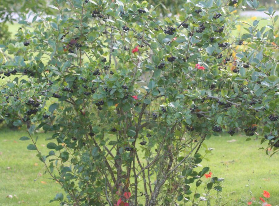 Рябина черноплодная (Aronia melanocarpa Elliot)