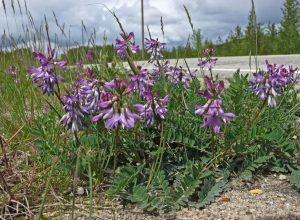 Астрагал альпийский (Astragalus alpinus L.)
