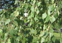 Betula pendula /береза бородавчатая