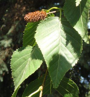 Береза Эрмана (Betula ermanii), лист