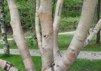Береза Эрмана (Betula ermanii) ствол