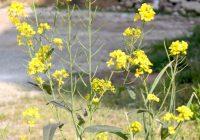 Горчица сарептская (Горчица листовая, Горчица русская). Brassica juncea.