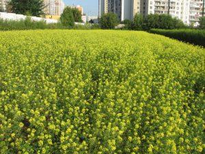 Горчица сарептская, массовое цветение посева