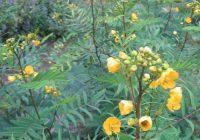 Кассия остролистная или сенна остролистная (Cassia acutifolia Del.)