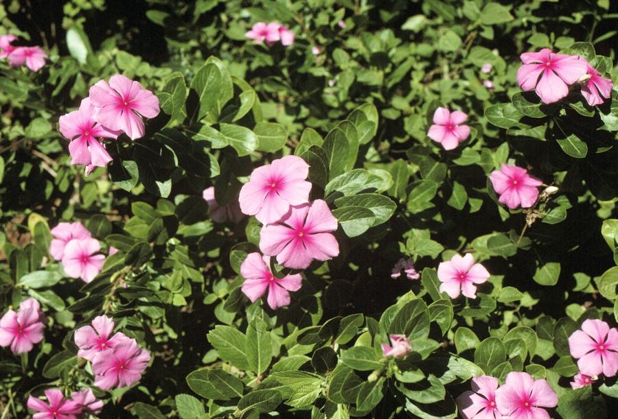 Катарантус розовый (Сatharanthus roseus L.)