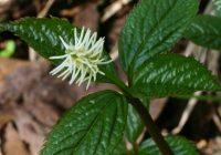 Хлорант (Хлорантус) японский