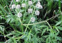Вех ядовитый (Cicuta virosa L.)