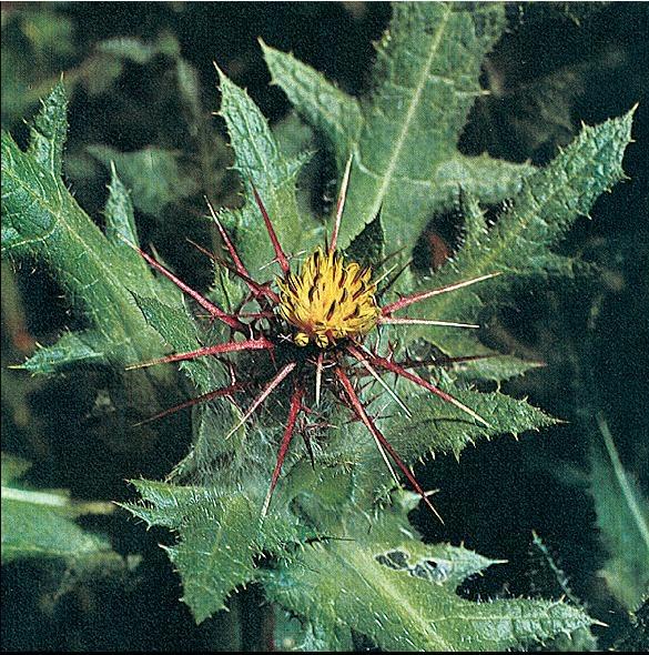Волчец кудрявый – Cniccus benedictus L.