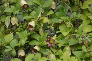 Колокольник ланцетный (Codonopsis lanceolata)