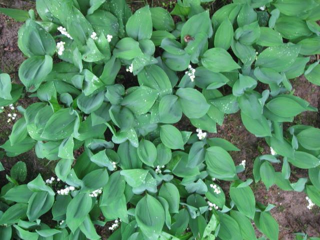 Ландыш майский Convallaria majalis