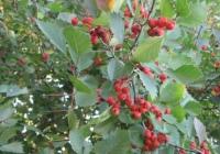 Боярышник кроваво-красный (Crataegus sanguinea Pall)