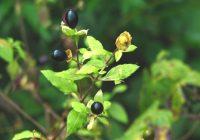 Волдырник японский (Cucubalus japonicus) плоды