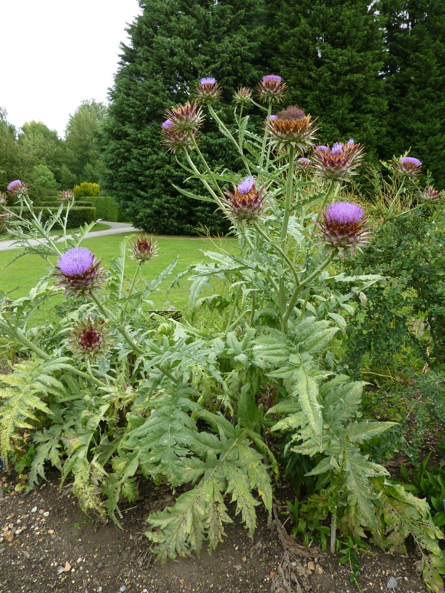 Артишок посевной (Cynara scolymus L.)