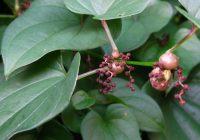 Диоскорея батат (Dioscorea batatas)