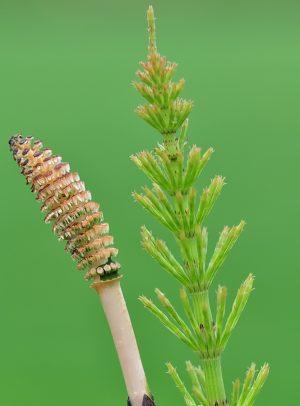Хвощ полевой, вегетативный и генеративный побеги