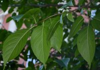Эвкоммия вязолистная (Eucommia ulmoides Oliver.)