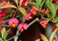 Бересклет Зибольда (Euonymus sieboldiana)