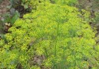 Фенхель обыкновенный (Foeniculum vulgare)