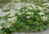 Гления прибрежная (Glehnia littoralis)
