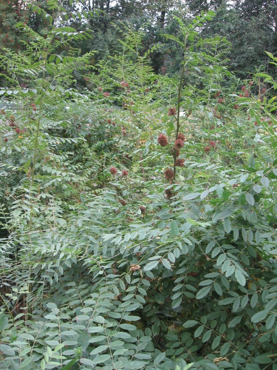 солодка голая (Glycyrrhiza glabra L.)