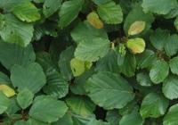 Гамамелис виргинский (Hamamelis virginiana L).
