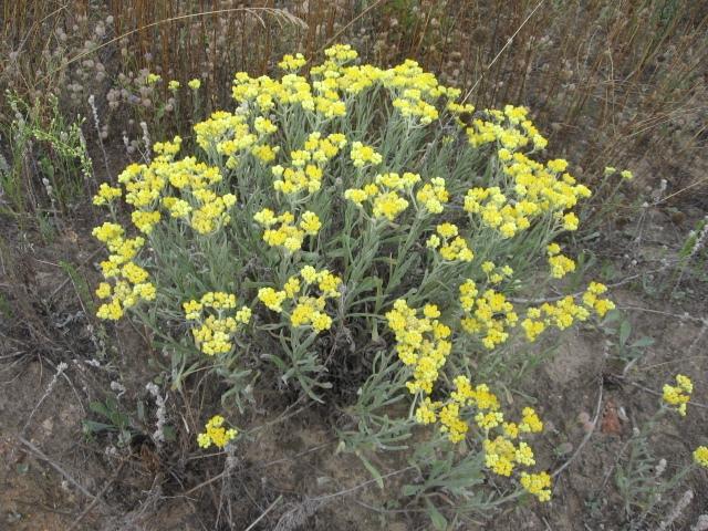 Бессмертник песчаный (Helichrysum arenarium Moench)
