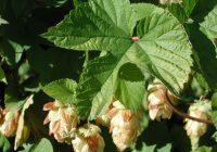 Хмель обыкновенный (Humulus lupulus)