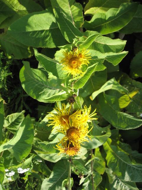 Девясил высокий – Inula helenium L.