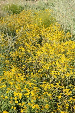 Девясил японский (Inula japonica Thunb.)