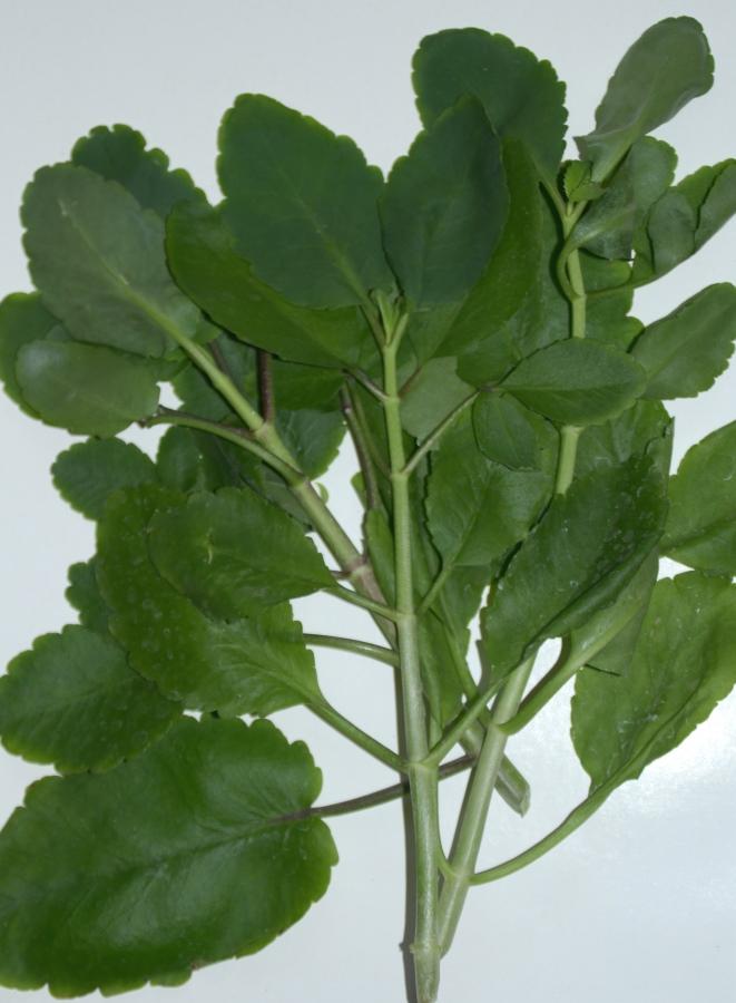 Каланхое перистое (Kalanchoe pinnata Lam.)