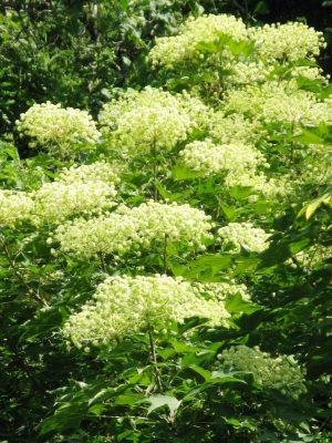 Калопанакс семилопастный, диморфант (Kalopanax septemlobus) цветение