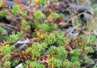 Багульник стелющийся (Ledum decumbens)