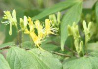 Жимолость золотистая (Lonicera chrysantha) цветение