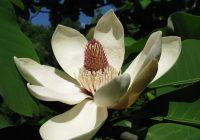 Магнолия обратнояйцевидная (Магнолия снизу белая) цветок