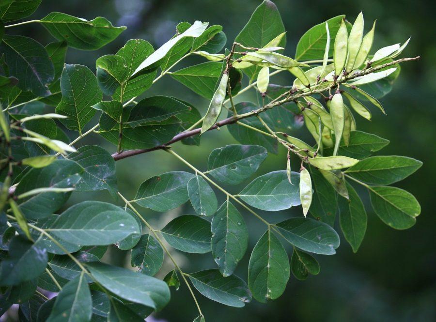 Маакия амурская плоды