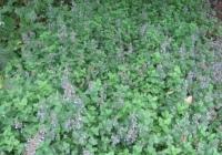 Мята перечная Mentha piperita L. var.vulgaris L.