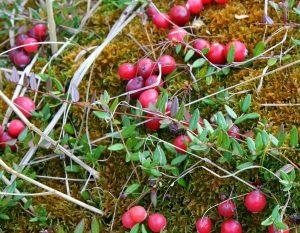 Клюква болотная Oxycoccus palustris