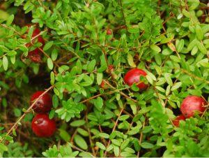 Vaccinium oxycoccos L. Клюква обыкновенная.