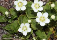 Белозор болотный (Parnassia palustris)