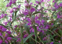 Зопник колючий (железняк) — Phlomis pungens Willd.