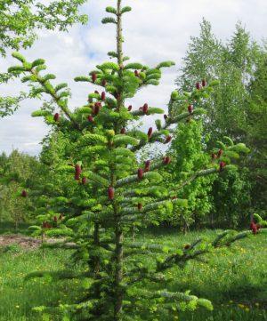 Ель аянская (Picea ajanensis)