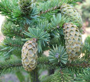 Ель аянская (Picea ajanensis) мужские шишки